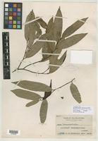 Isotype of Dasymaschalon oblongatum Merr. [family ANNONACEAE]
