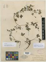 Isolectotype of Geranium guatemalense R. Knuth [family GERANIACEAE]