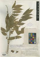 Isotype of Cashalia cuscatlanica Standl. [family FABACEAE]