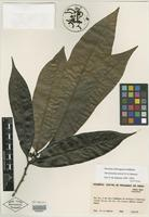 Isotype of Hornschuchia santosii D. M. Johnson [family ANNONACEAE]
