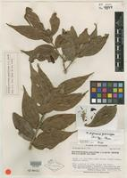 Isotype of Eleutherostemon gracilipes A. C. Sm. [family ERICACEAE]