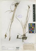 Isotype of Carex nebrascensis var. ultriformis L. H. Bailey [family CYPERACEAE]