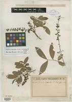 Isotype of Guarea ripicola C. DC. [family MELIACEAE]
