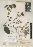 Holotype of Mascagnia guianensis W. R. Anderson [family MALPIGHIACEAE]