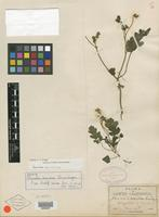 Isolectotype of Phacelia scariosa Brandegee [family HYDROPHYLLACEAE]