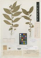 Holotype of Calceolaria curvirostra Rusby [family VIOLACEAE]