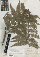 Isotype of Dennstaedtia williamsii Copel. [family PTERIDOPHYTE]