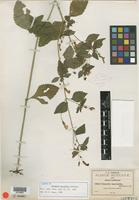 Isotype of Stemodia macrantha B. L. Rob. [family SCROPHULARIACEAE]