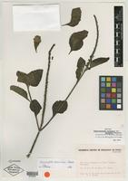 Isotype of Stachytarpheta canescens var. bahiensis Moldenke [family VERBENACEAE]
