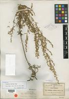 Isotype of Artemisia redolens A. Gray [family ASTERACEAE]