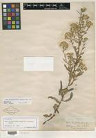 Isotype of Aster brickellioides var. glabratus Greene [family ASTERACEAE]
