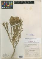 Isotype of Chrysothamnus wyomingensis A. Nelson [family ASTERACEAE]