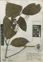 Isotype of Miconia aspiazui J. F. Macbr. [family MELASTOMATACEAE]