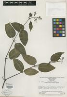 Isotype of Miconia dioica Wurdack [family MELASTOMATACEAE]