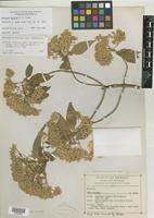 Isotype of Montanoa gentryi S. F. Blake [family ASTERACEAE]