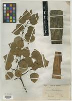 Syntype of Betula montanensis B. T. Butler [family BETULACEAE]