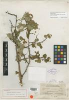Holotype of Opulaster glabratus Rydb. [family ROSACEAE]