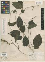 Holotype of Tragia sellowiana var. glabrifolia Britton [family EUPHORBIACEAE]