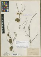 Isolectotype of Carlowrightia glabrata Fernald [family ACANTHACEAE]