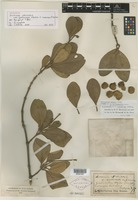 Holotype of Avicennia officinalis f. tomentosa Kuntze [family VERBENACEAE]