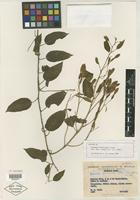 Isotype of Belemia fucsioides Pires [family NYCTAGINACEAE]