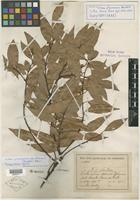 Isotype of Litsea flavescens Bartley [family LAURACEAE]