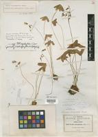 Isotype of Oxalis tlalpamensis R. Knuth [family OXALIDACEAE]