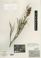 Isolectotype of Hakea longicuspis Hook. [family PROTEACEAE]