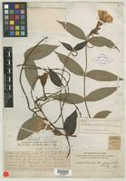 Holotype of Mandevilla attenuata Rusby [family APOCYNACEAE]