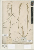 Filed as Glyceria striata (Lam.) Hitchc. [family POACEAE]