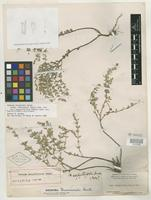 Holotype of Hedeoma serpyllifolia Small [family LAMIACEAE]