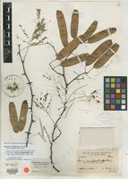 Holotype of Acacia ampeloclada Rusby [family MIMOSACEAE]