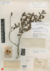 Holotype of Gaultheria parvifolia Small [family ERICACEAE]