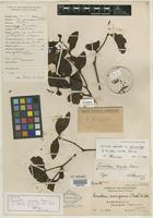 Lectotype of Ginalloa ovata Danser [family LORANTHACEAE]
