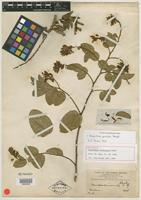 Holotype of Securidaca orinocensis Rusby [family POLYGALACEAE]