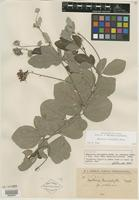 Isotype of Rhynchosia leucophylla f. pubescens Hassl. & Chodat [family FABACEAE]
