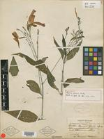 Holotype of Ruellia pearcei Rusby [family ACANTHACEAE]