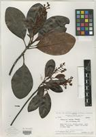 Isotype of Byrsonima maguirei W. R. Anderson [family MALPIGHIACEAE]