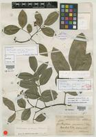 Filed as Zanthoxylum spinosum subsp. jamaicense [family RUTACEAE]