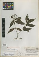 Isotype of Psychotria canaguensis Standl. & Steyerm. [family RUBIACEAE]
