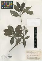 Type of Psychotria diffusiflora A. C. Sm. [family RUBIACEAE]