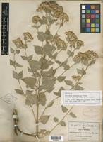 Isotype of Kyrstenia betulifolia Greene [family ASTERACEAE]