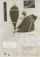 Isotype of Ardisia ovandensis Lundell [family MYRSINACEAE]