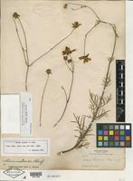 Isotype of Bidens palmeri A. Gray [family ASTERACEAE]