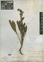 Type of Mulgedium lessertianum DC. [family ASTERACEAE]
