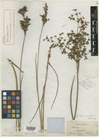 Type? of Juncus caudatus Chapm. [family JUNCACEAE]