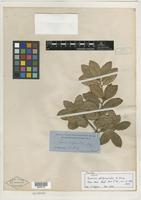 Type? of Quercus phillyraeoides A. Gray [family FAGACEAE]