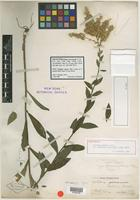 Holotype of Solidago earlei Small [family ASTERACEAE]