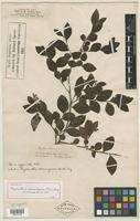 Isotype of Phyllanthus racemigerus Müll. Arg. [family EUPHORBIACEAE]