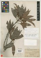 Isotype of Dipholis durifolia Standl. [family SAPOTACEAE]